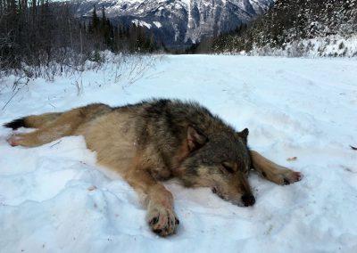 Winter Wolf Hunt